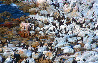 Bettys Bay colony of African penguins at Stony Point