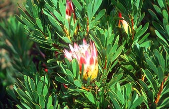 Cape Town Cape of Good Hope Nature Reserve protea flower 1