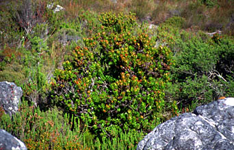 Cape Town vegetation on Table Mountain 3