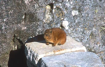 Dassie or rock hyrax on Table Mountain