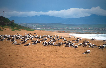 sea gulls at Mossel Bay beach