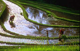 Rice terraces near Pupuan planting 2