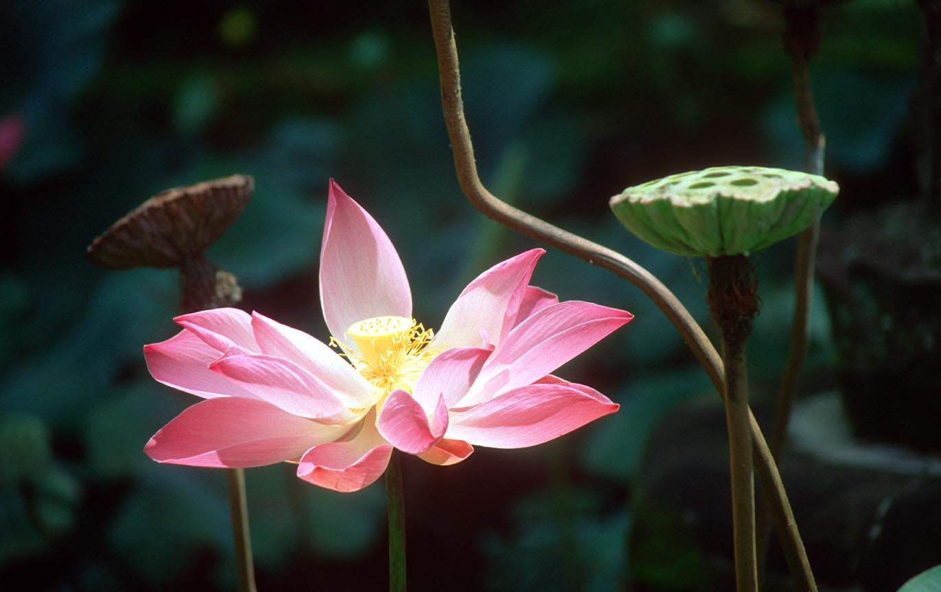 Lotus Flower Art