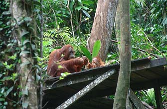 Semenggoh Wildlife Rehabilitation Centre - Orang-utans2