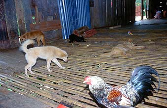 Iban Longhouses: inner verandah is shared with animals