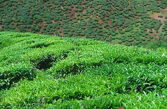 Cameron Highlands tea plantations