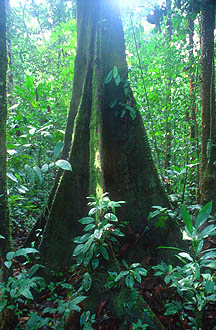 Gunung Mulu National Park tree with butress roots in rainforest