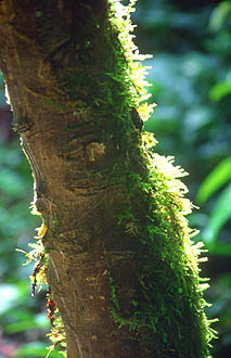 Gunung Mulu national park moss covered tree trunk in rainforest