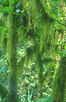Gunung Mulu national park moss covered trees in rainforest