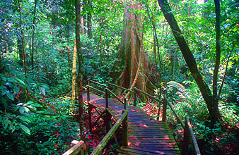 Gunung Mulu national park walkway to Wind and Clearwater Cave with butress roots