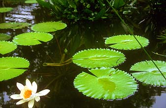 Singapore Botanic Gardens waterlilies