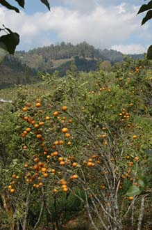 DPS Bali orange trees with fruits near street from Pelaga to Kintamani 02 3008x2000