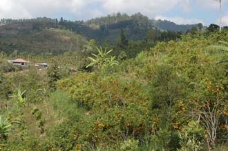 DPS Bali orange trees with fruits near street from Pelaga to Kintamani 03 3008x2000