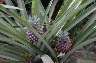 DPS Bali pineapple plant with fruit 3008x2000