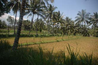 AMI Lombok rice field with palm trees on the road from Pringgasela traditional weaving village to Loang Gali village 3008x2000