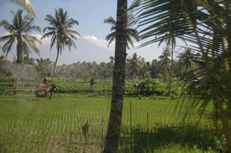 AMI Lombok rice fields with palm trees on the road from Masbagik Timur pottery village to Pringgasela traditional weaving village 1 3008x2000