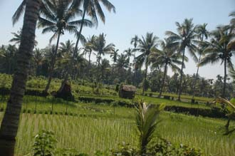 AMI Lombok rice fields with palm trees on the road from Masbagik Timur pottery village to Pringgasela traditional weaving village 2 3008x2000