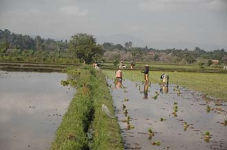 AMI Lombok workers planting rice in rice fields near Karangbayan 3008x2000
