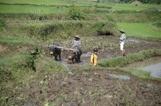 AMI Lombok workers ploughing with buffalos in rice fields near Karangbayan 3008x2000